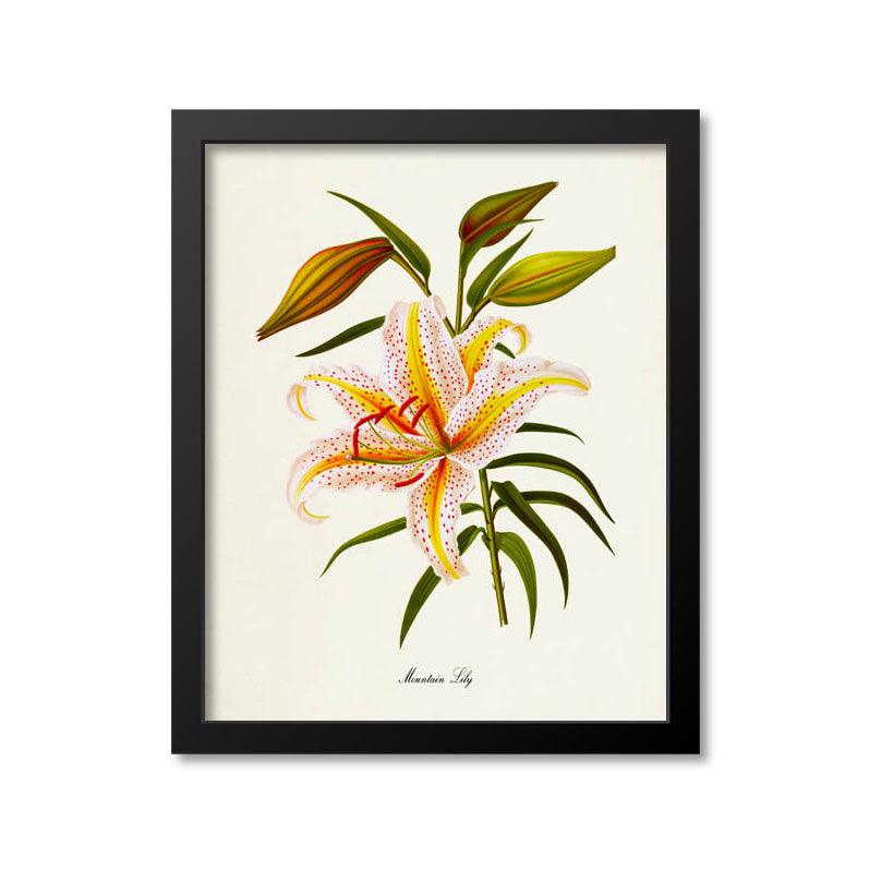 Mountain Lily Flower Art Print