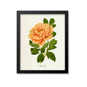 Moutan Peony Flower Art Print, Orange