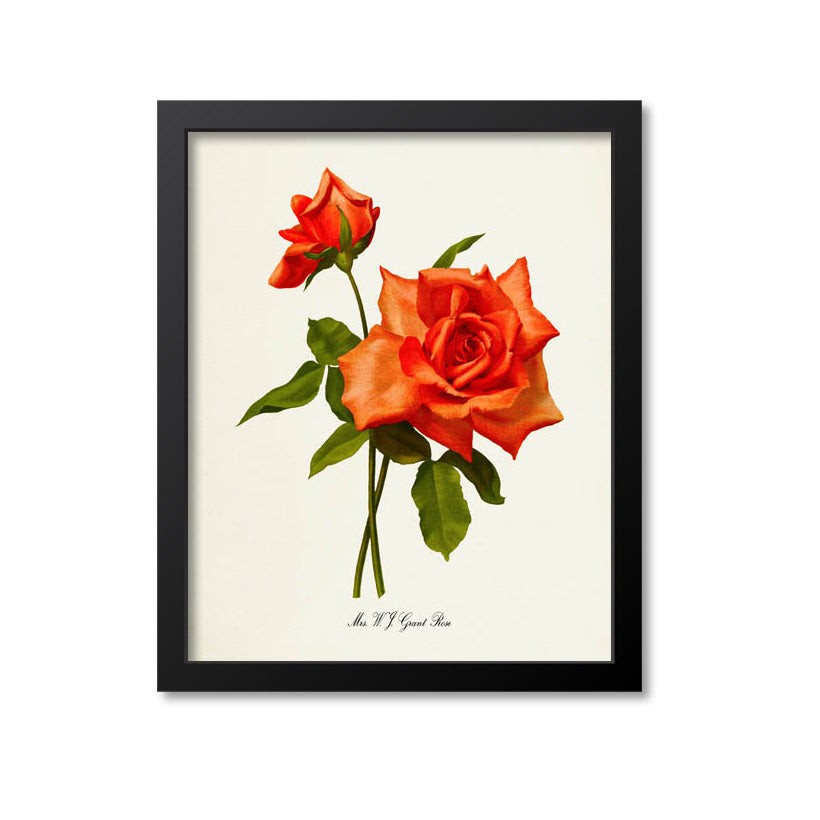 Mrs W J Grant Rose Flower Art Print