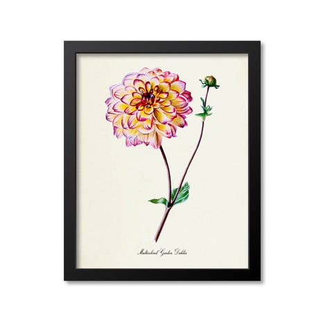 Multicolored Garden Dahlia Flower Art Print