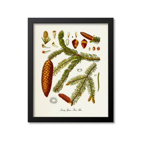 Norway Spruce Botanical Print