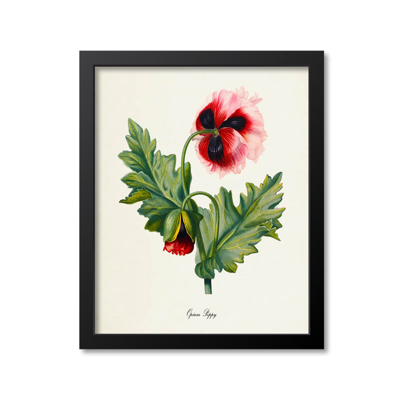 Opium Poppy Flower Art Print