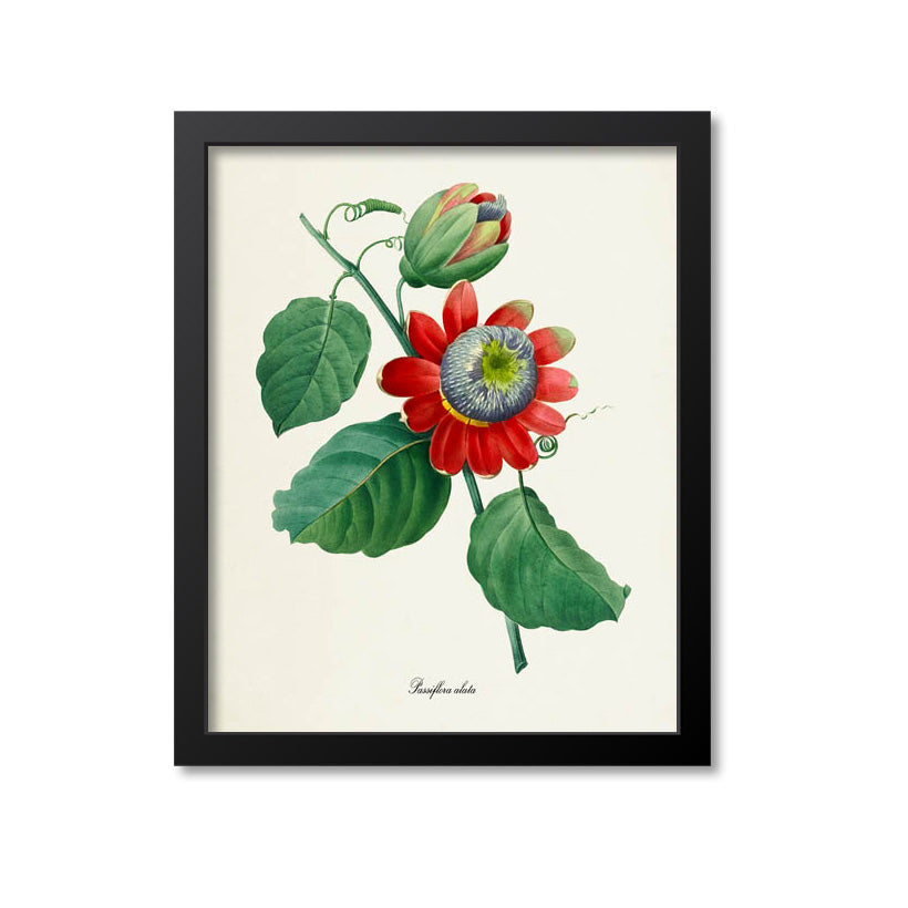 Winged-stem passion Flower Art Print