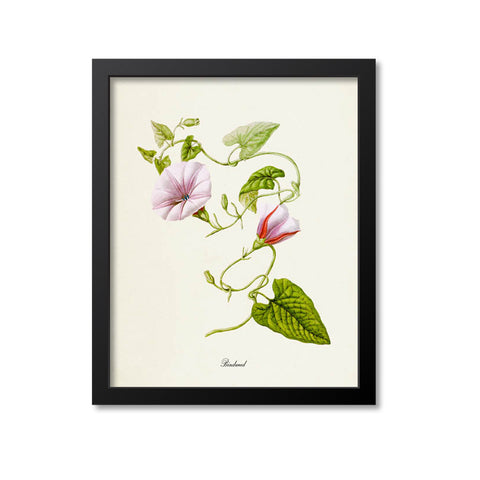 Bindweed Flower Art Print, Morning Glory