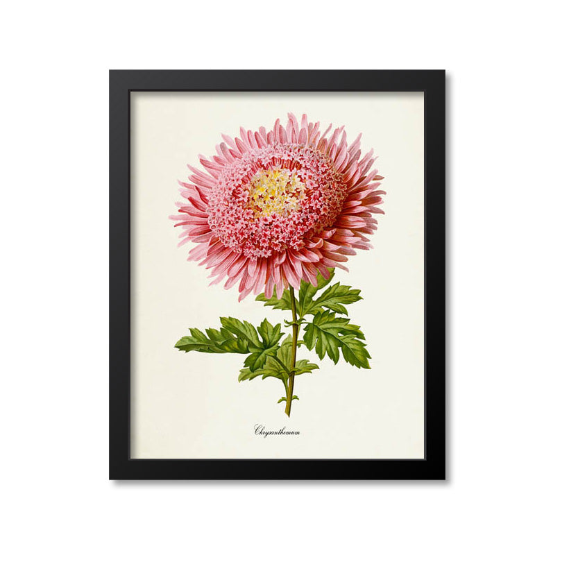 Chrysanthemum Flower Art Print, Pink