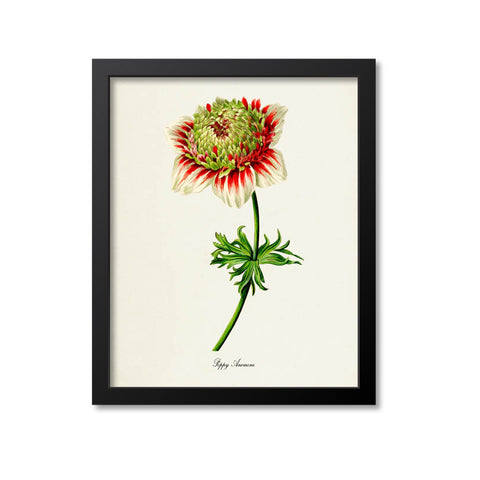 Poppy Anemone Flower Art Print