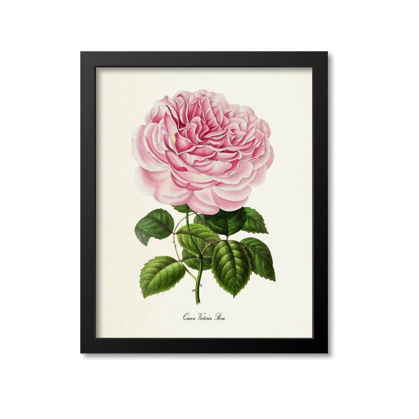 Queen Victoria Rose Flower Art Print