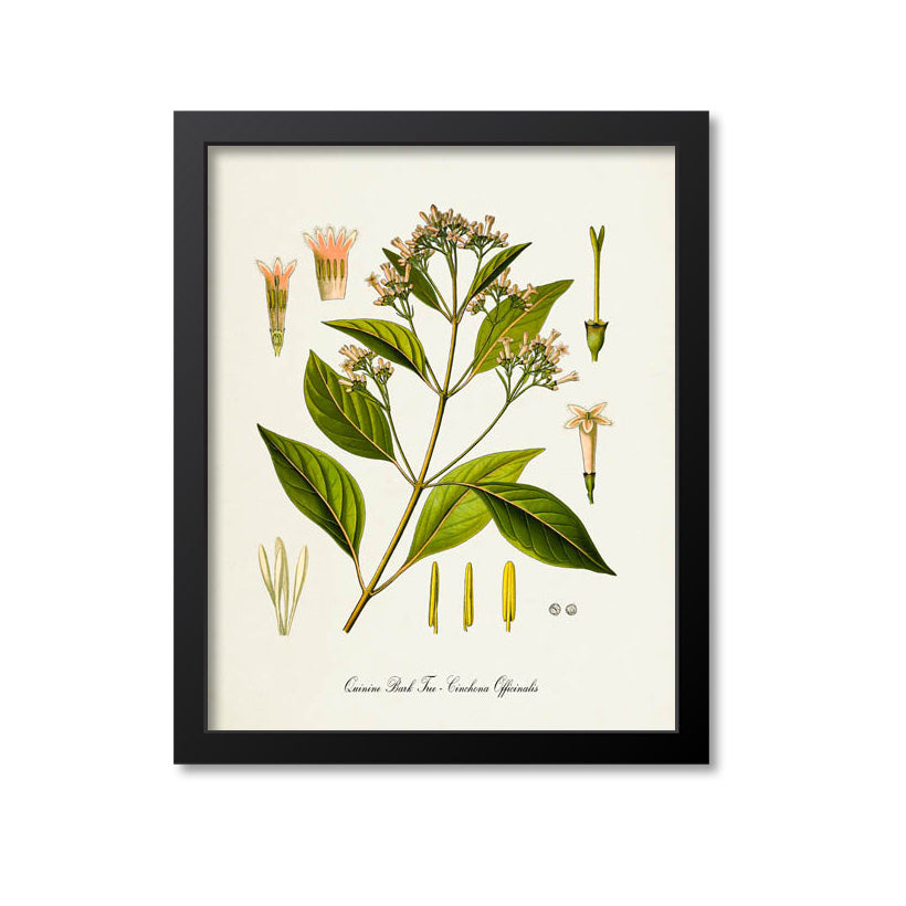 Quinine Bark Tree Botanical Print