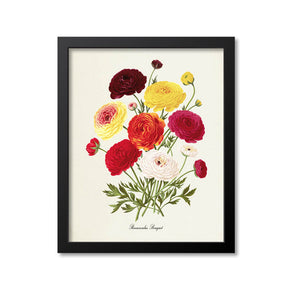 Persian buttercup Botanical Print