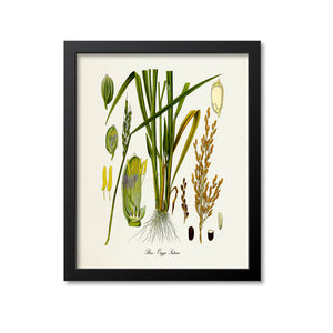 Rice Botanical Print