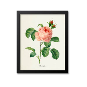 Provence Rose Flower Art Print