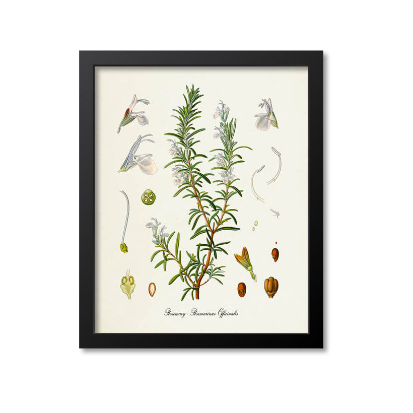 Rosemary Botanical Print