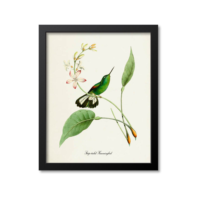 Stripe-tailed Hummingbird Print