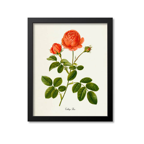 Cabbage Rose Flower Art Print, Provence Rose