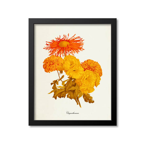 Chrysanthemum Flower Art Print, Orange, Yellow