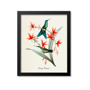 Violet-capped Woodnymph Hummingbird Print