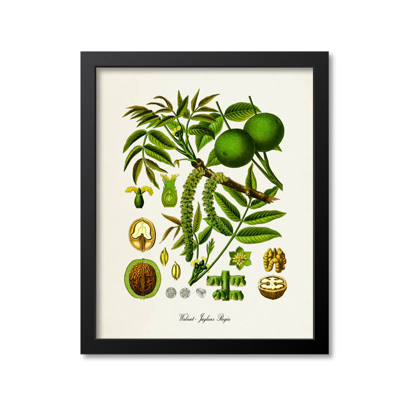 Walnut Botanical Print