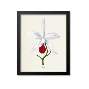 White Laelia Flower Art Print