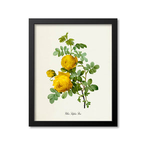 Yellow Sulphur Rose Flower Art Print