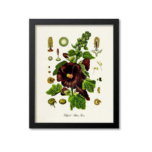 Hollyhock Botanical Print