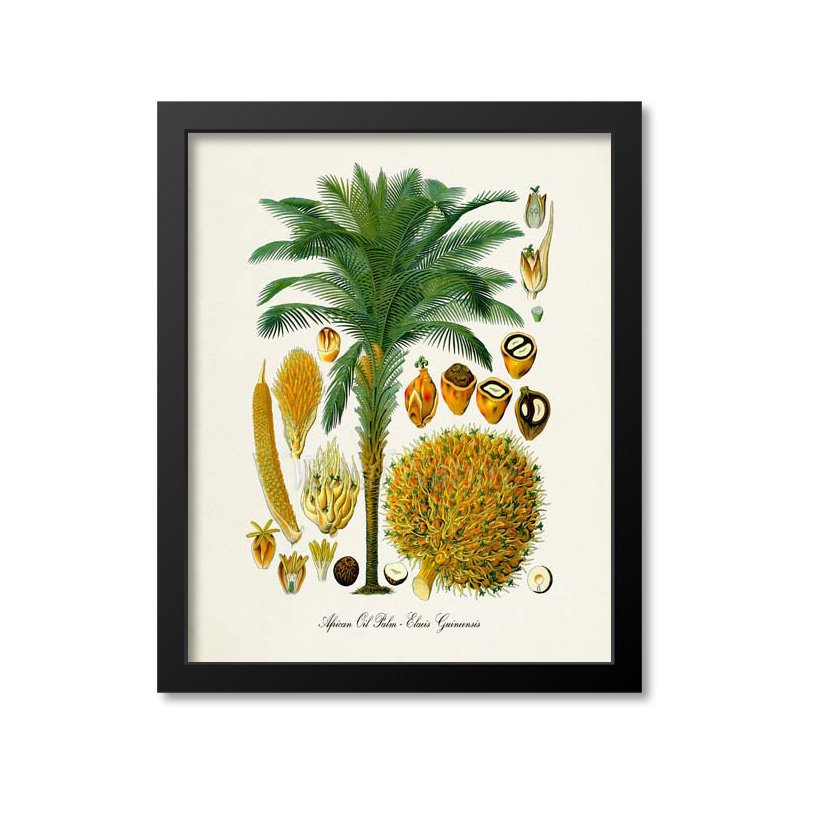 African Oil Palm Tree Botanical Print