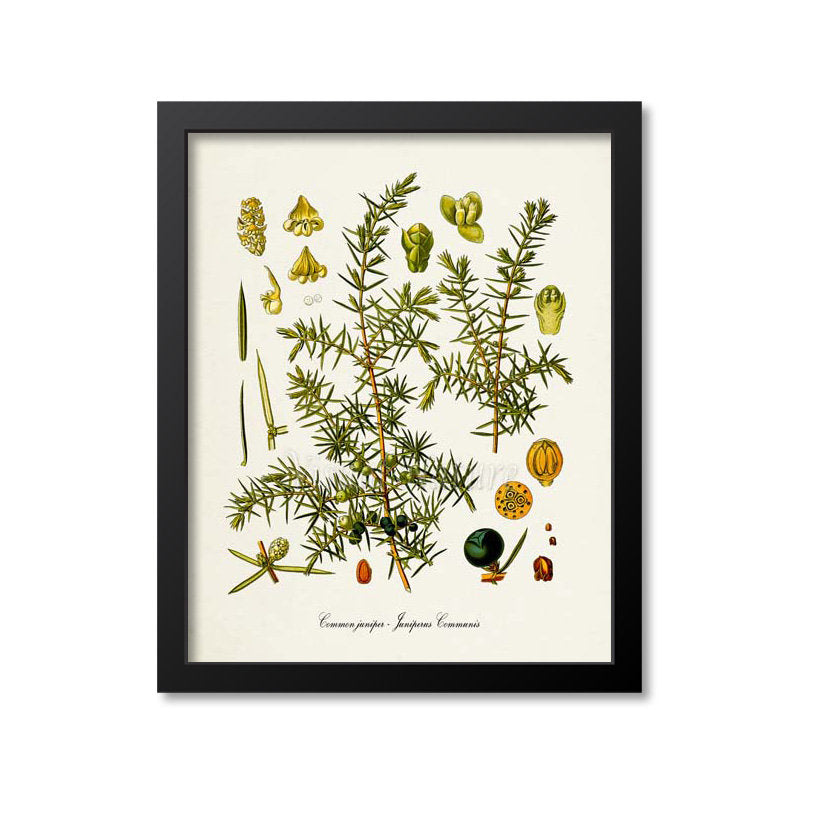 Juniper Botanical Print