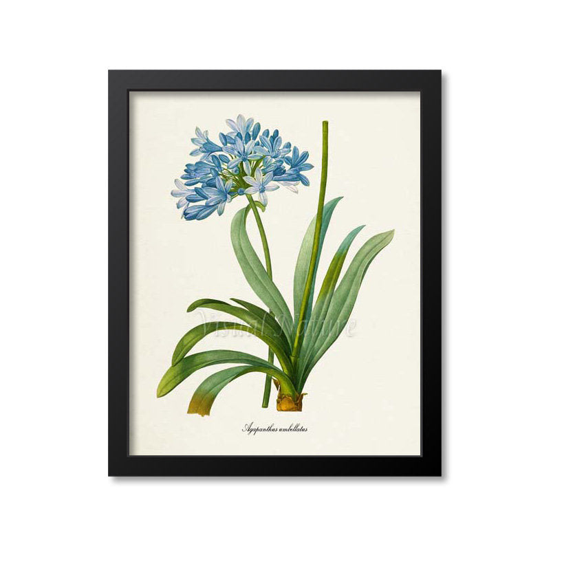 Lily of the Nile Flower Art Print 2
