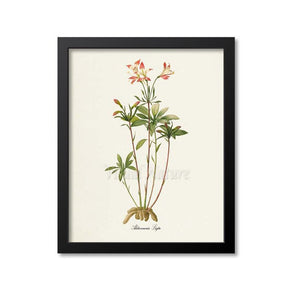 Lily of the Incas Flower Art Print