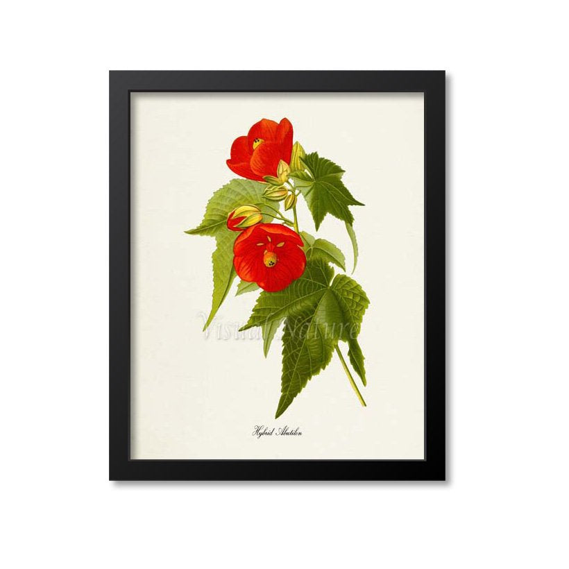 Hybrid Abutilon Flower Art Print
