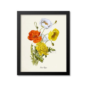 Iceland Poppies Flower Art Print