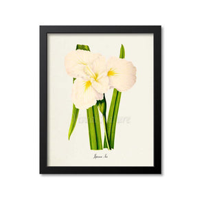Japanese Iris Flower Art Print, White