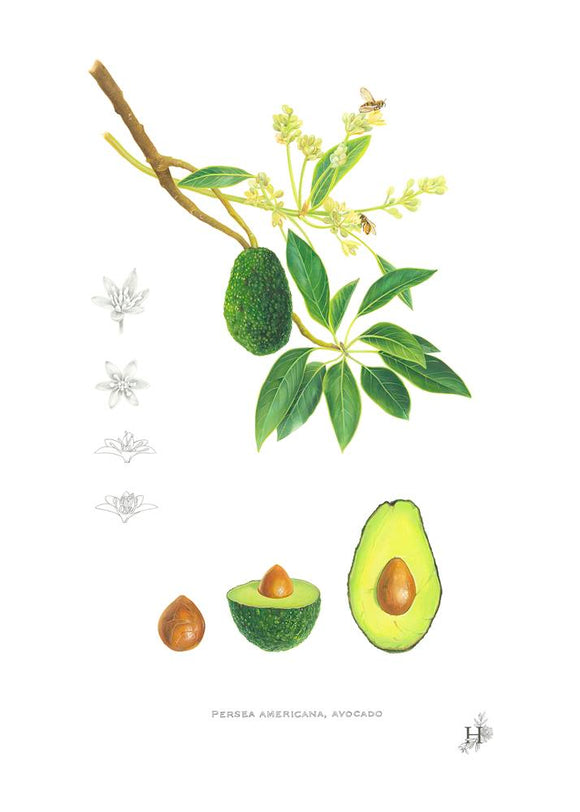 Avocado, persea americana. Botanical Illustration, by Sarah Jane Humphrey