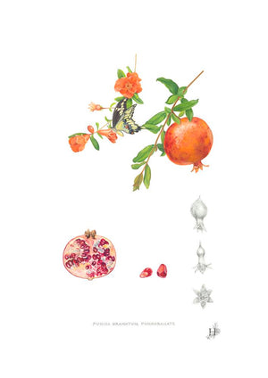 Medicinal Fruits, The Pomegranate