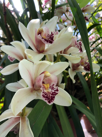 Orchids at the Chelsea Physic Garden