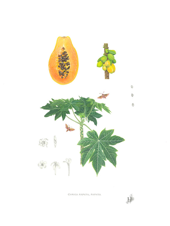 Carica Papaya, papaya. Original Painting.