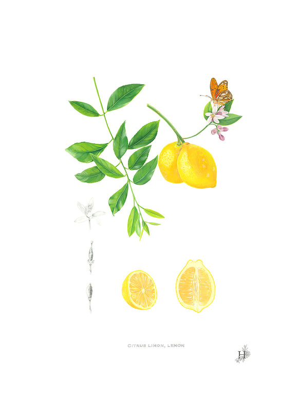 Lemon, citrus limon Original Painting