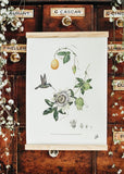 The Medicinal Fruits Collection, Botanical Art Prints