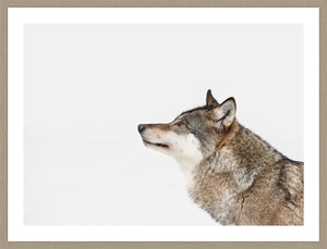 Grey Wolf Looking Into the Distance