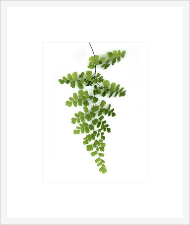 Green Maidenhair