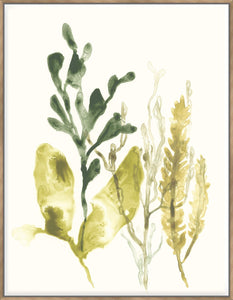 Kelp Collection Iii