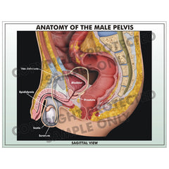 Anatomy of male pelvis