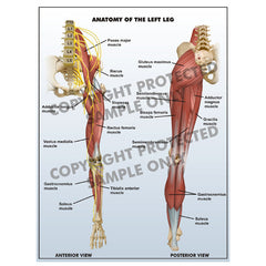 Left leg anatomy
