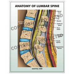 Anatomy of lumbar spine