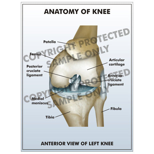 Legal Art Works Anatomy Of Left Knee