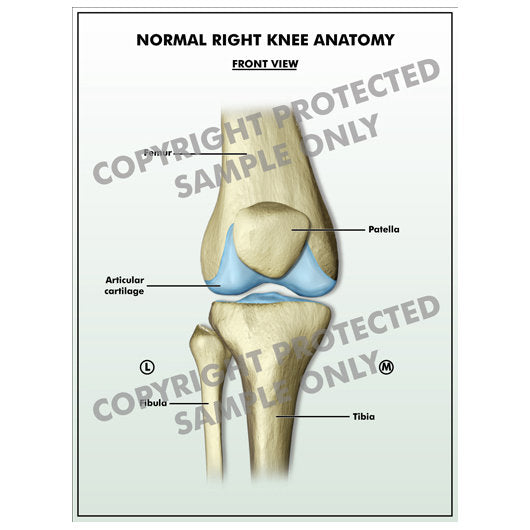 Legal Art Works Right Knee Anatomy
