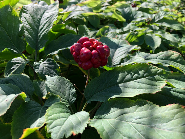 American Ginseng berry cluster
