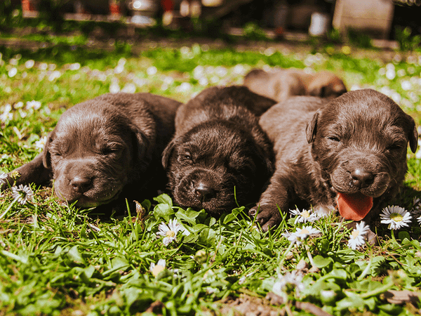 Puppies laying on the grass