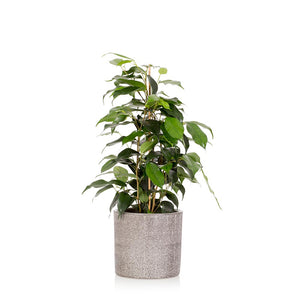 The Little Botanical-Ficus Benjamina Houseplant Only Available in Store or Click & Collect | Eve & Ranshaw