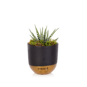The Little Botanical-Medium Haworthia Succulent Only Available in Store or Click & Collect | Eve & Ranshaw