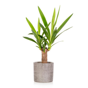 The Little Botanical-Yucca Houseplant Only Available in Store or Click & Collect | Eve & Ranshaw